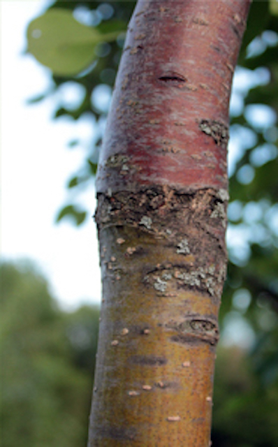 The difference in color between the upper and lower bark show where the draft union is on this 5-year old tree.