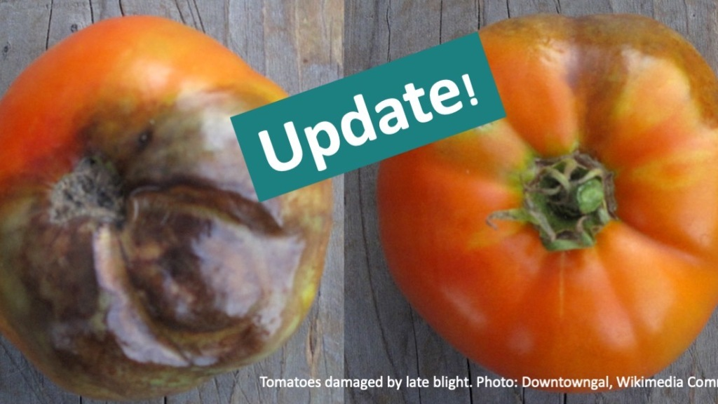 Tomatoes showing rot from late blight