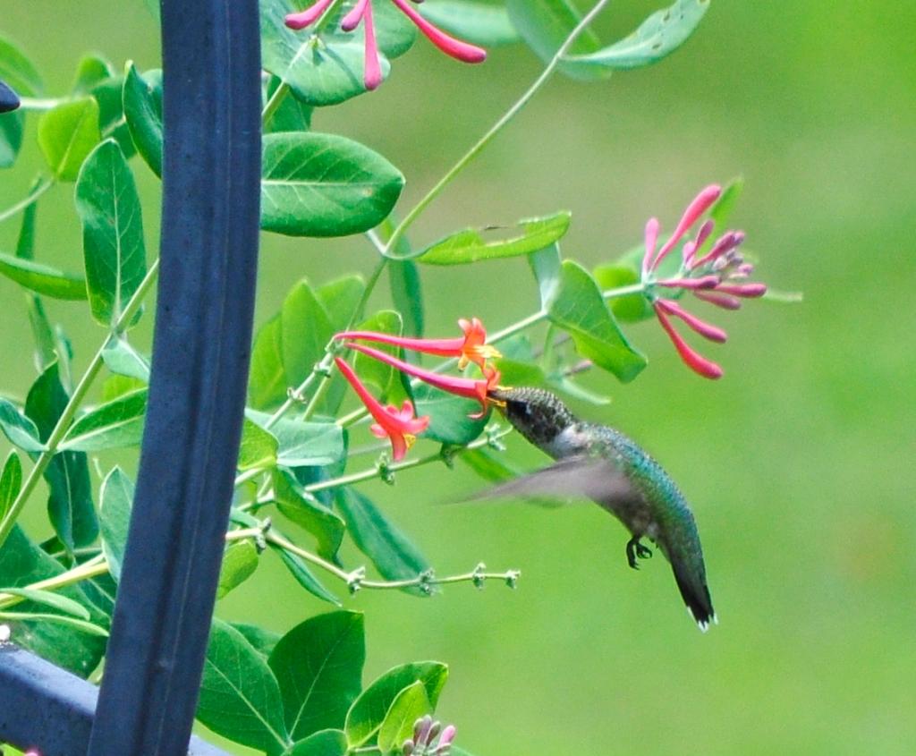 Ruby-throated hummingbird visiting a honeysuckle.