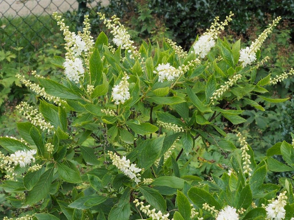 Summersweet (Clethra alnifolia) in bloom.
