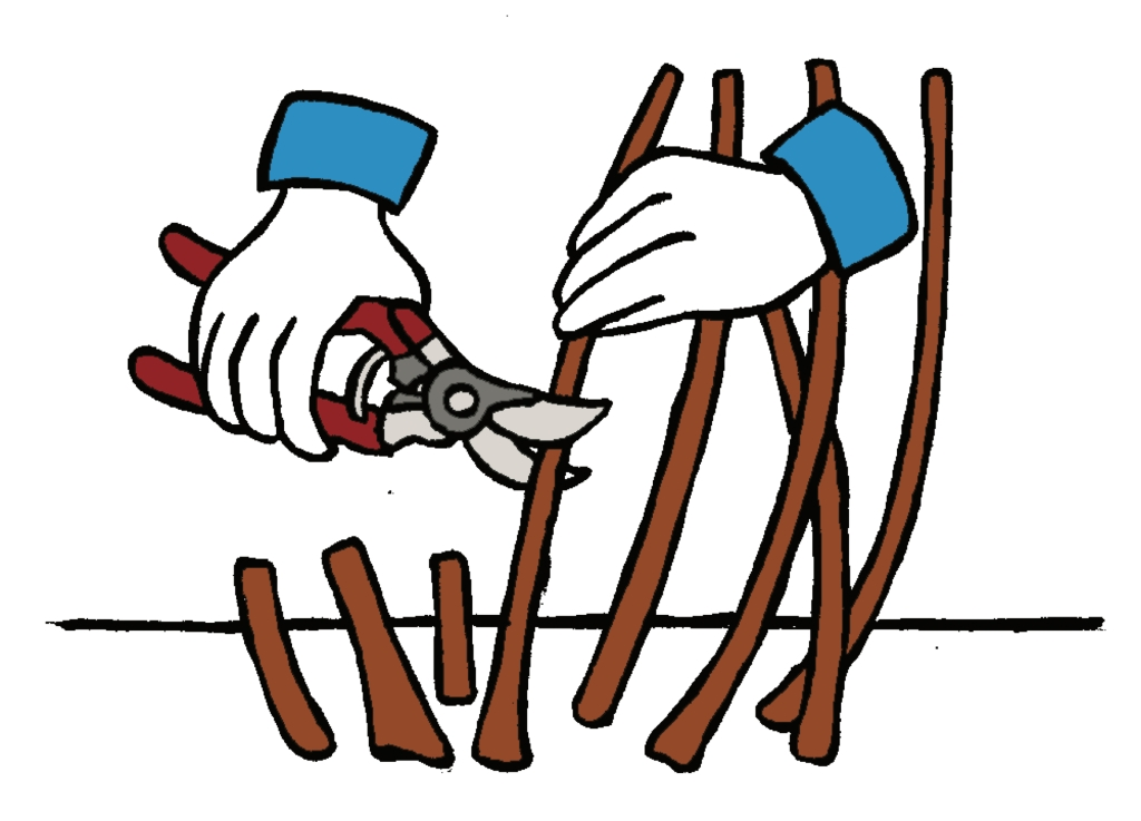 Illustration showing hands and pruning shear carrying out rejuvenation pruning.