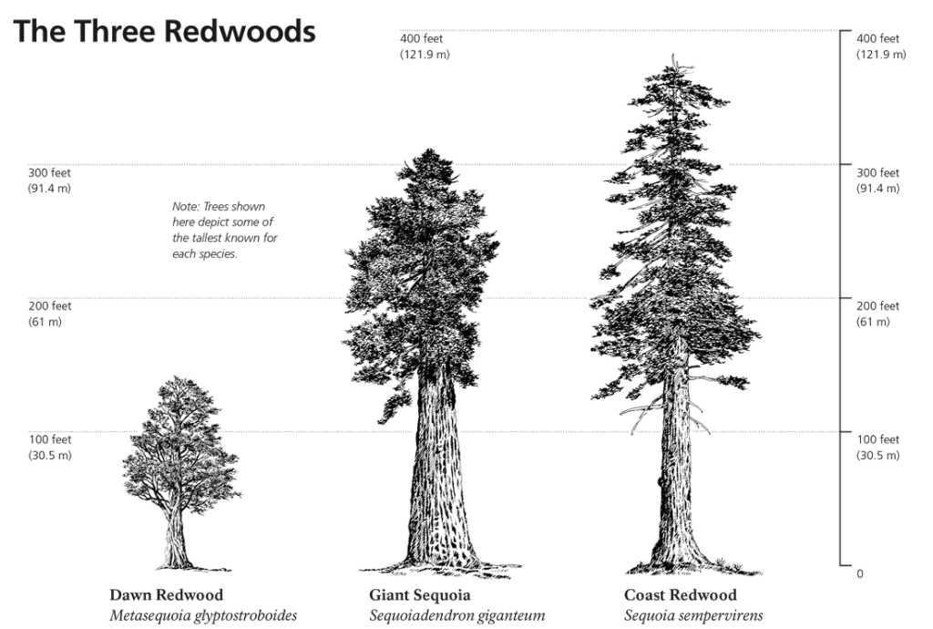 Comparison between the shapes and sizes of dawn redwood, giant sequoia and