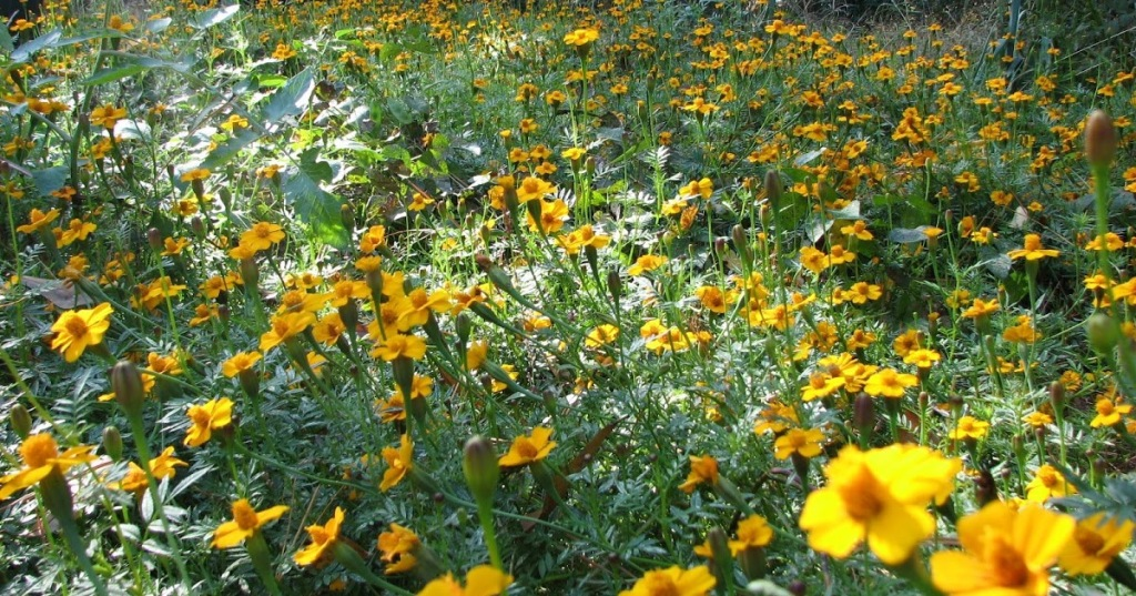 Field of French marigolds.