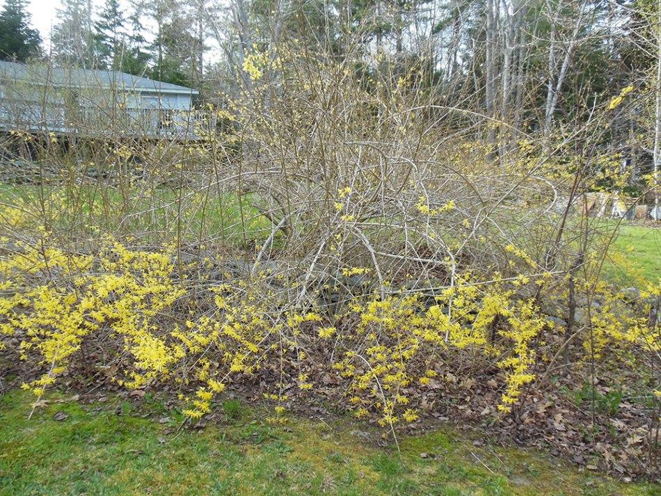 Forsythia that only has flowers at the bottom.