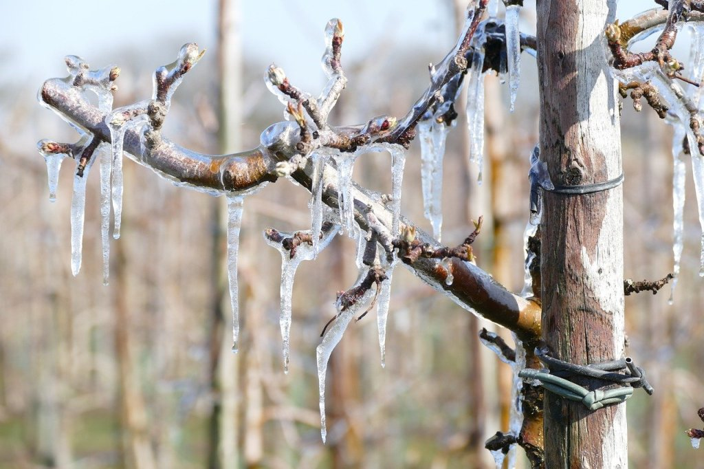 Apple tree with buds covered in ice.
