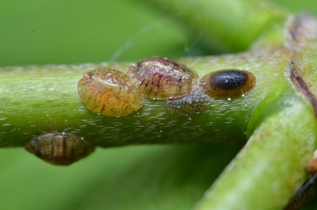Scale insects on a plant stem.