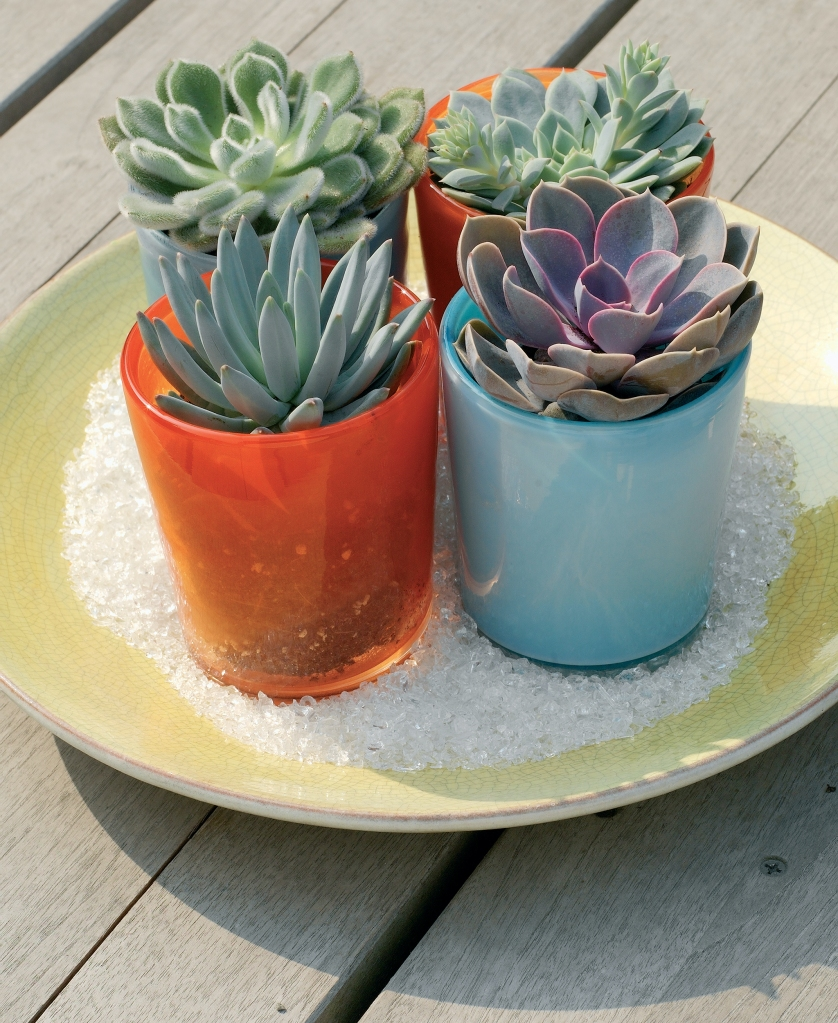 Potted echeverias in a sunny spot.