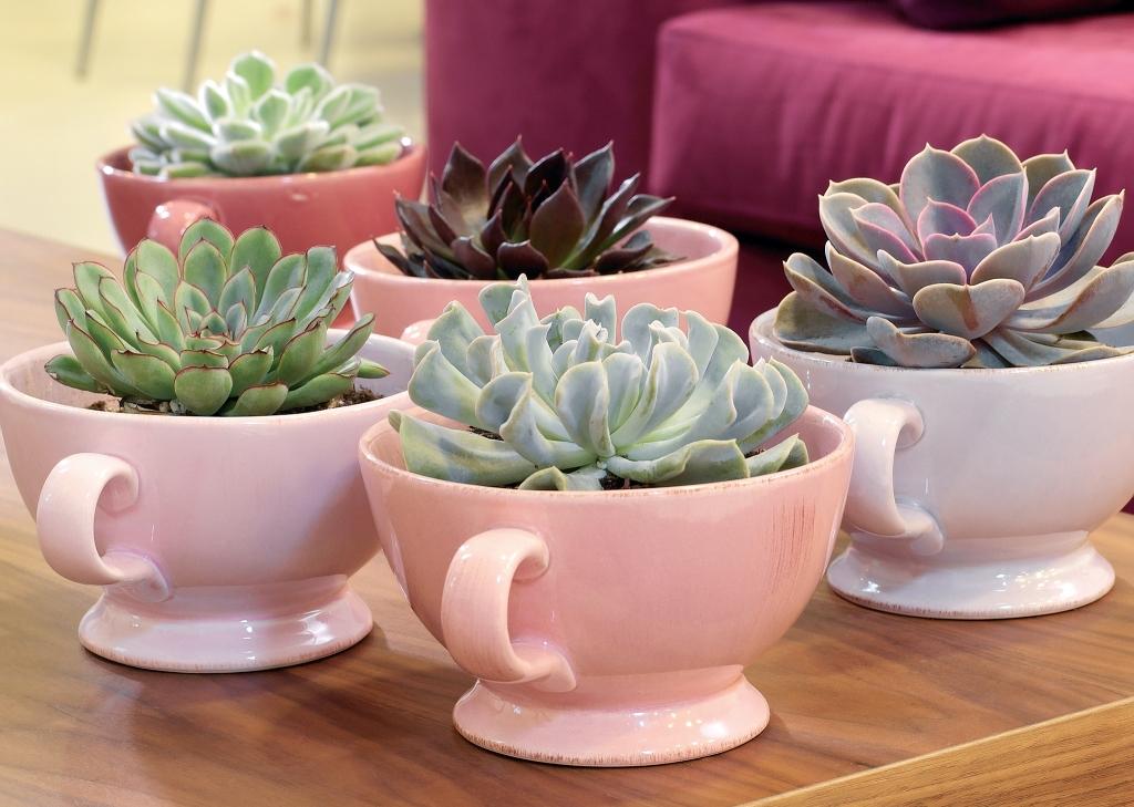Echeverias grown in tea cups.