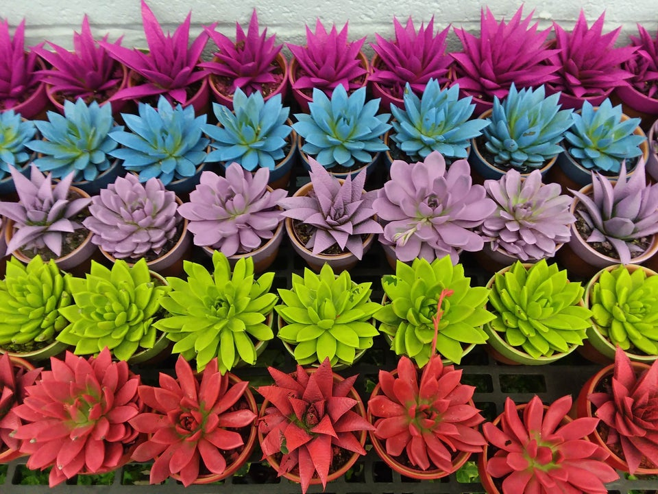 Spray-painted echeverias in bright colors.