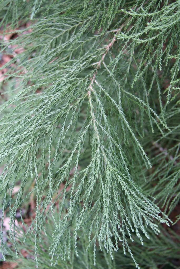 Needles of giant sequoia