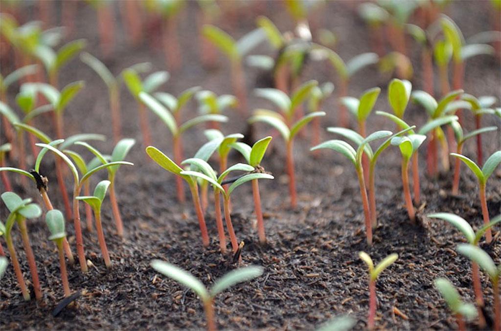 Swiss chard seedlings