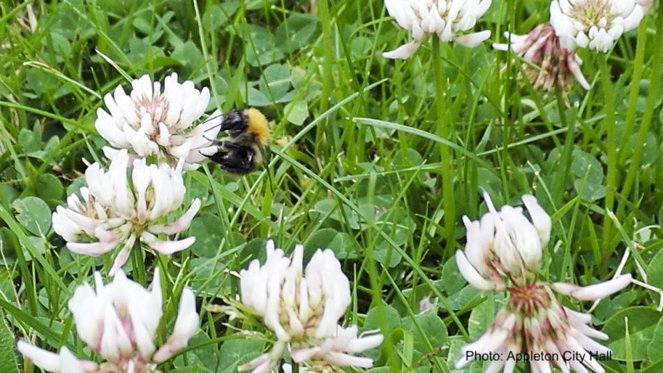 Bumblebee visiting lawn with white clover flowers.