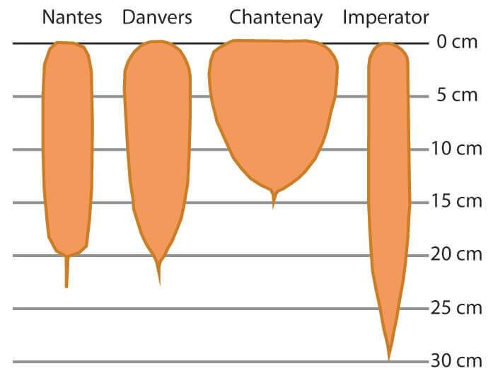 Chart showing 4 different shapes of carrot.