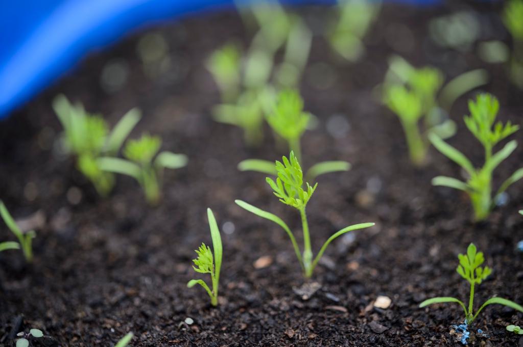 Small carrot seedlings