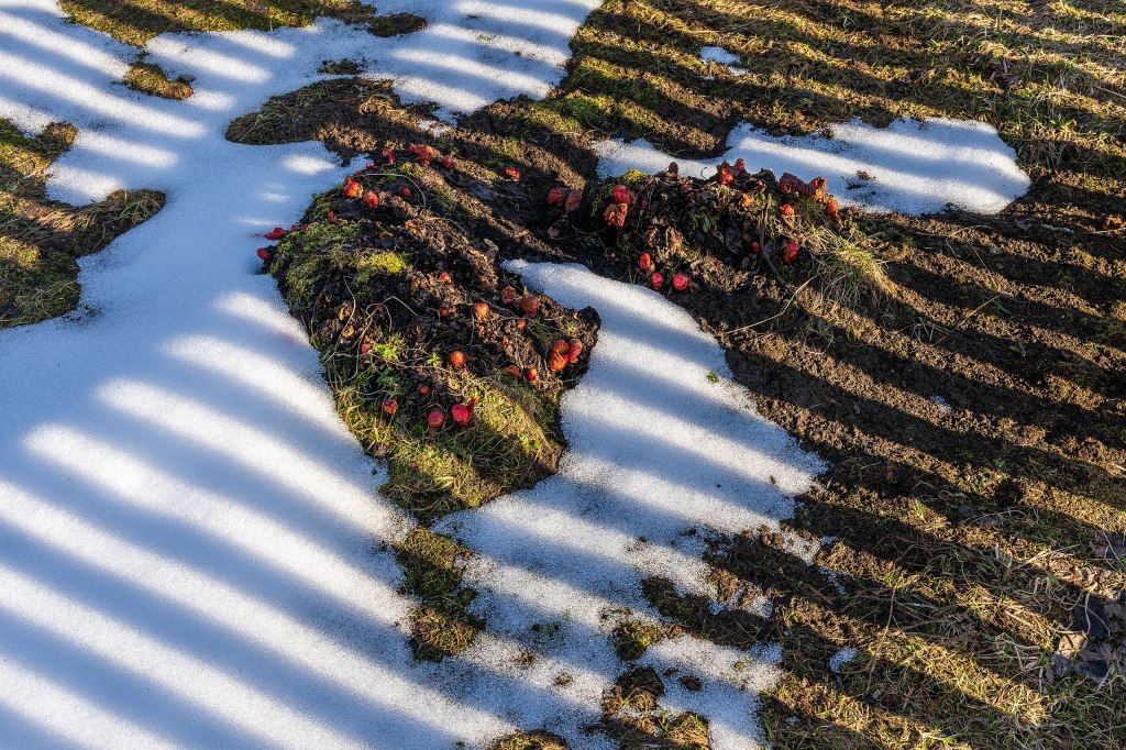 rhubarb sprouting in spring, surrounded by snow.