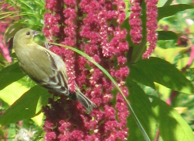 Bird feeding on Love-lies-bleeding seeds