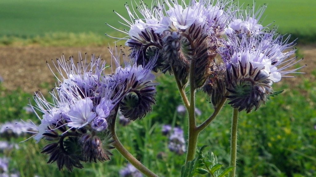 Flowers of lacy phacelia.