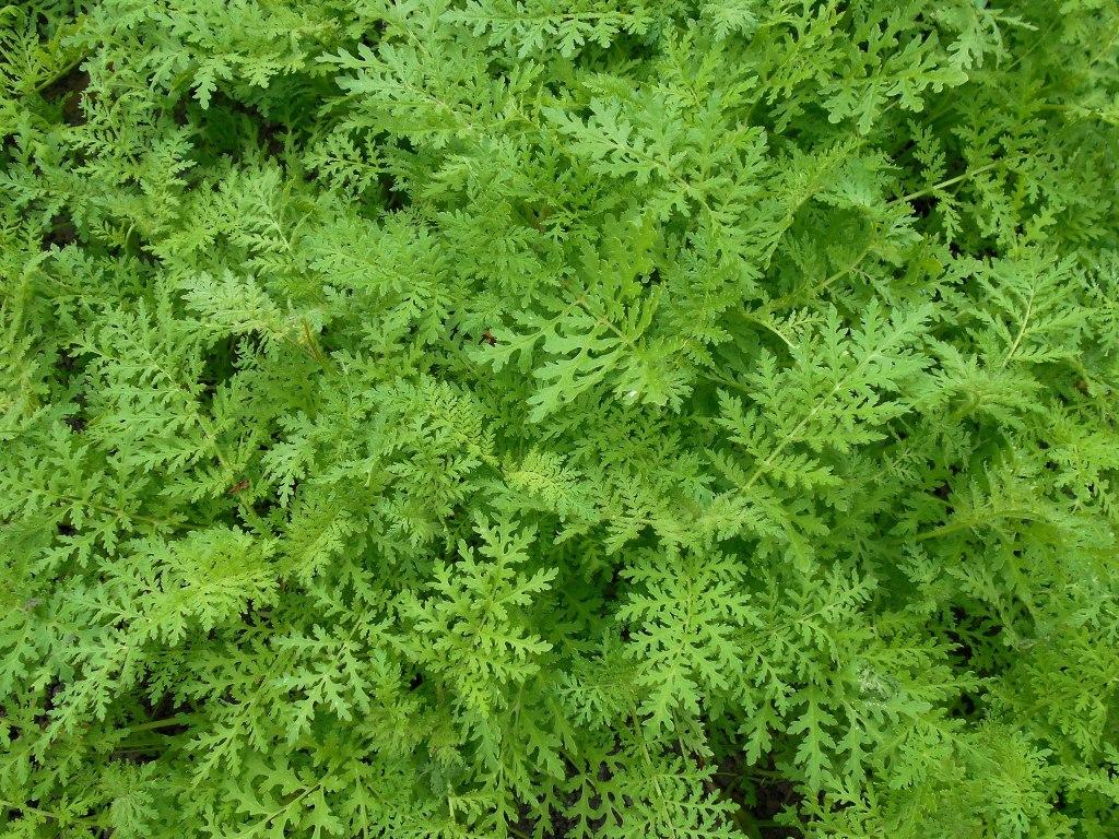Abundantly cut leaves of lacy phacelia.
