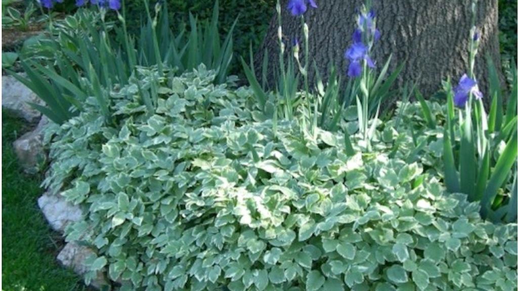 German irises invaded by variegated goutweed.