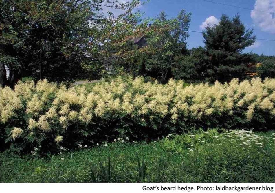 Goat's beard hedge.