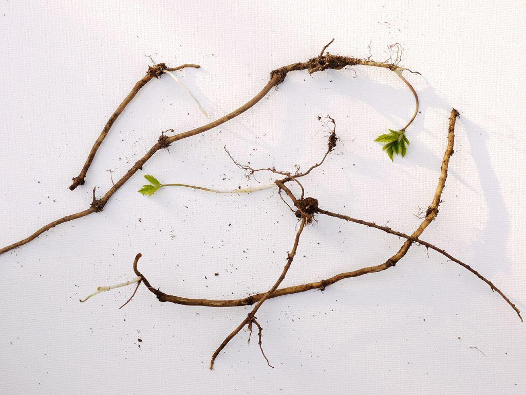 Goutweed rhizomes