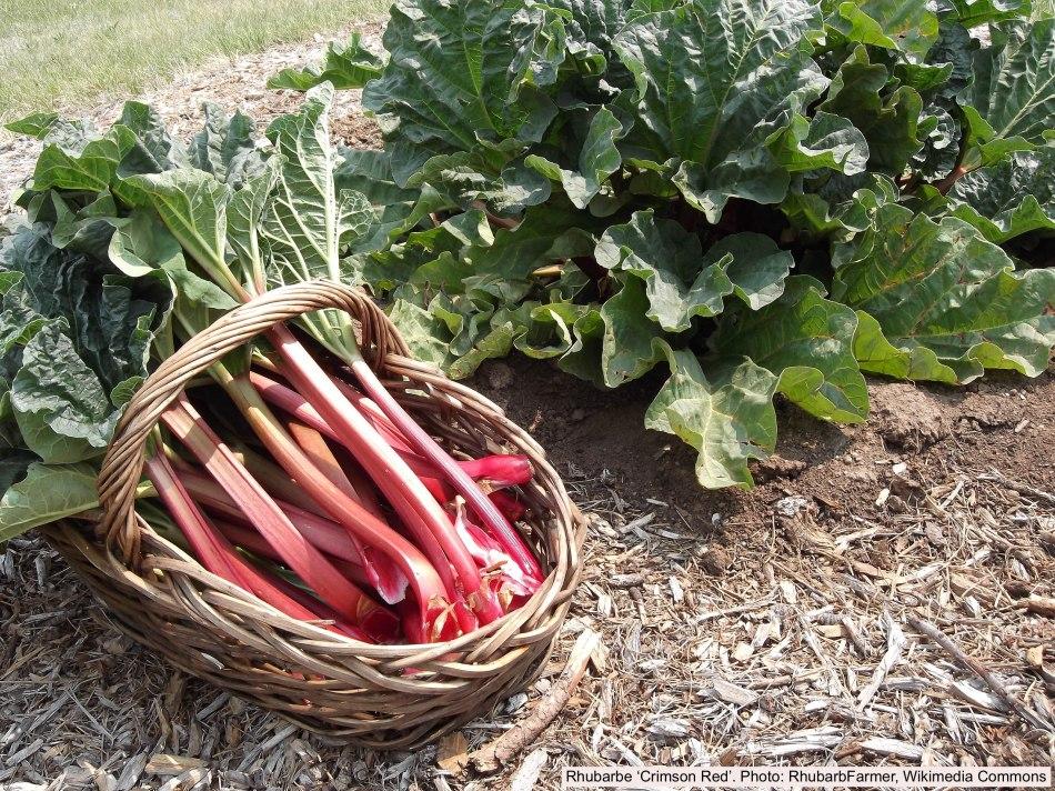 Cut rhubarb in a basket and rhubarb plant