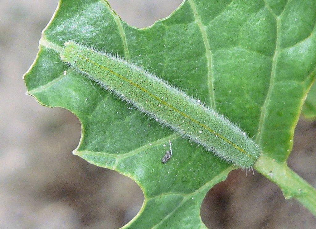 Cabbageworm on damaged leaf.