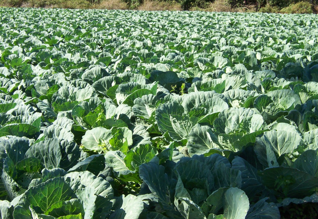 Field of white cabbage.