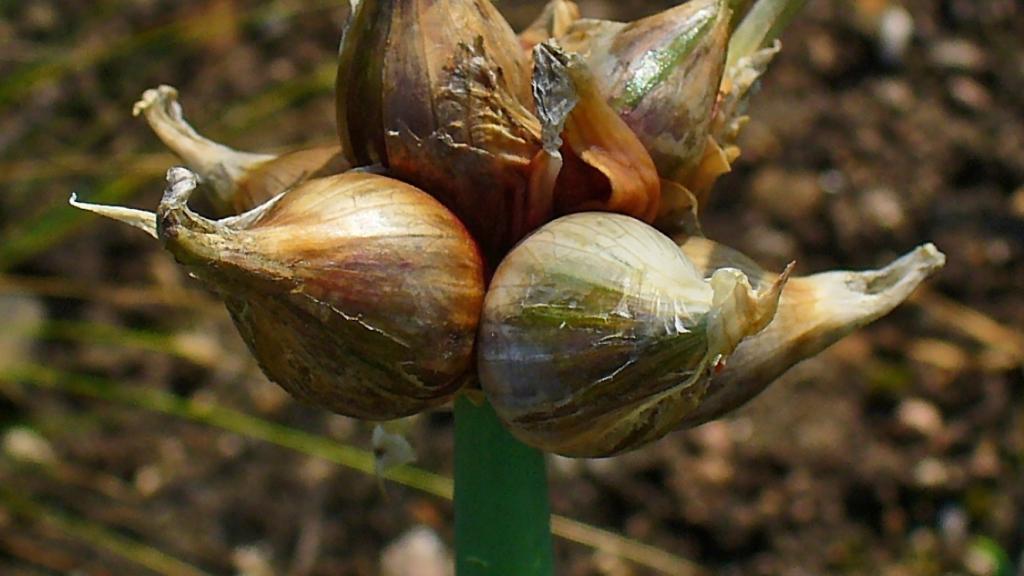 Cluster of bulbs on Egyptian onion.