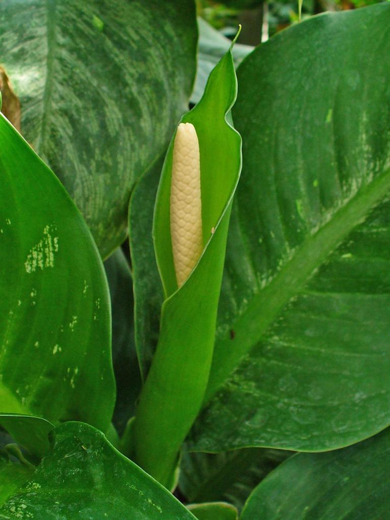 Dieffenbachia inflorescence