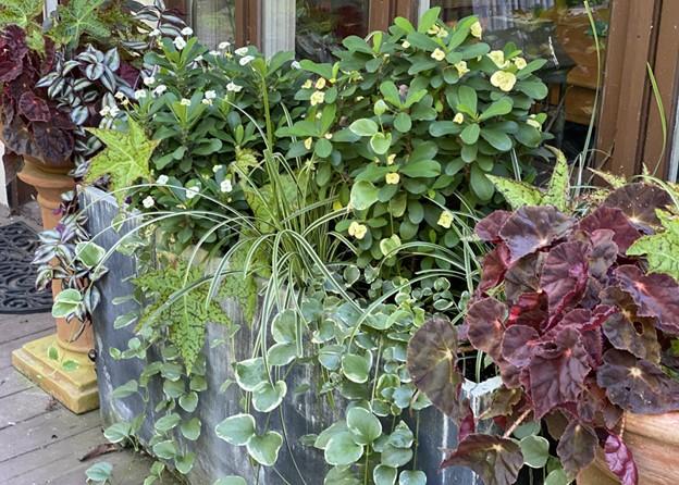 Mix of begonia, euphorbia, vinca, and tradescantia