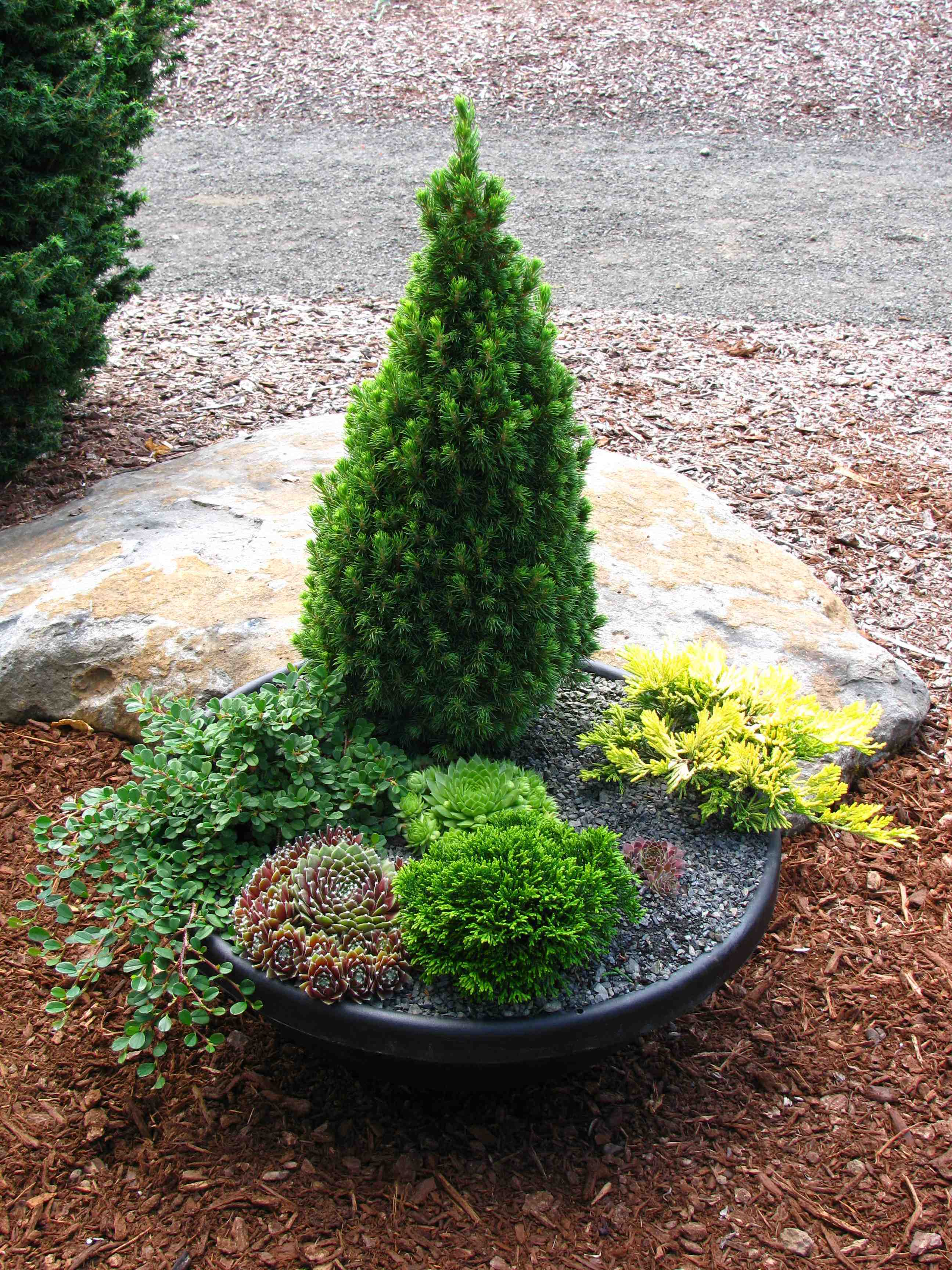 Spruce 'Jean's Dilly' (Picea glauca 'Jean's Dilly') in a container garden.