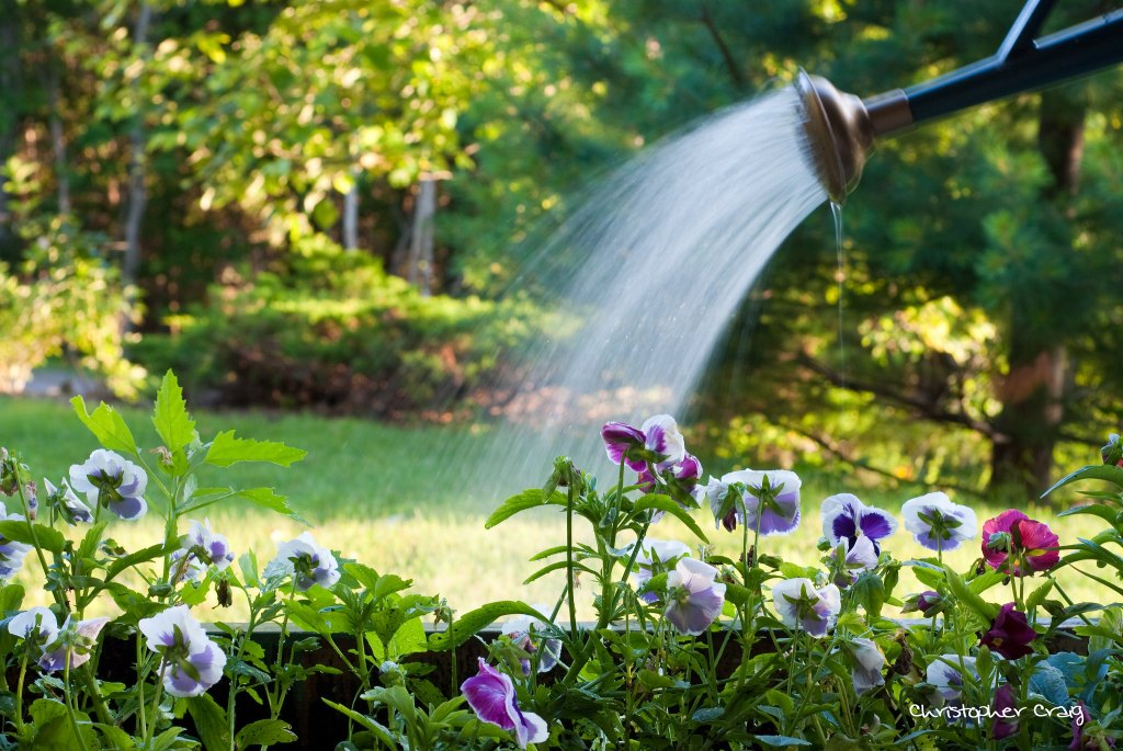 Watering pansies.