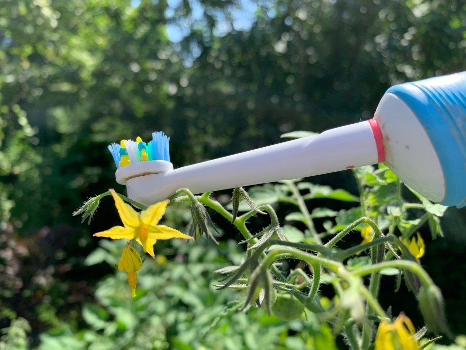 Electric toothbrush used to pollinate a tomato flower.
