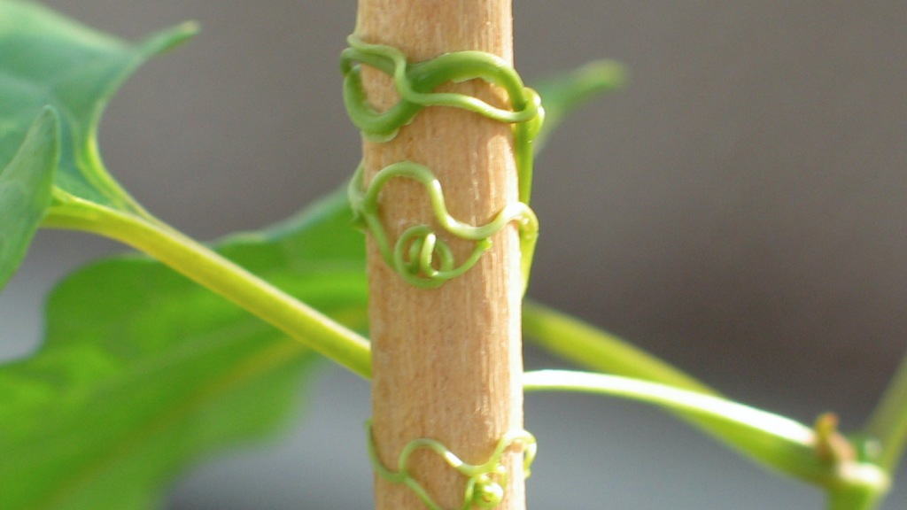 Tendrils wrapping around their support.