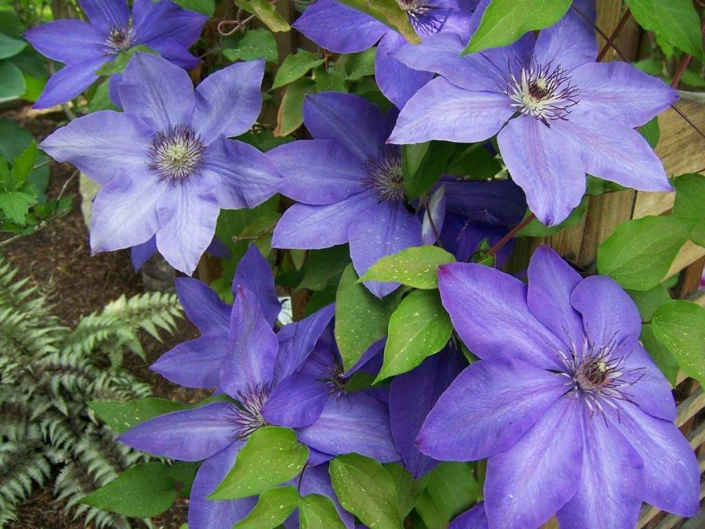 Clematis'Elsa Spath' with broad purple flowers.