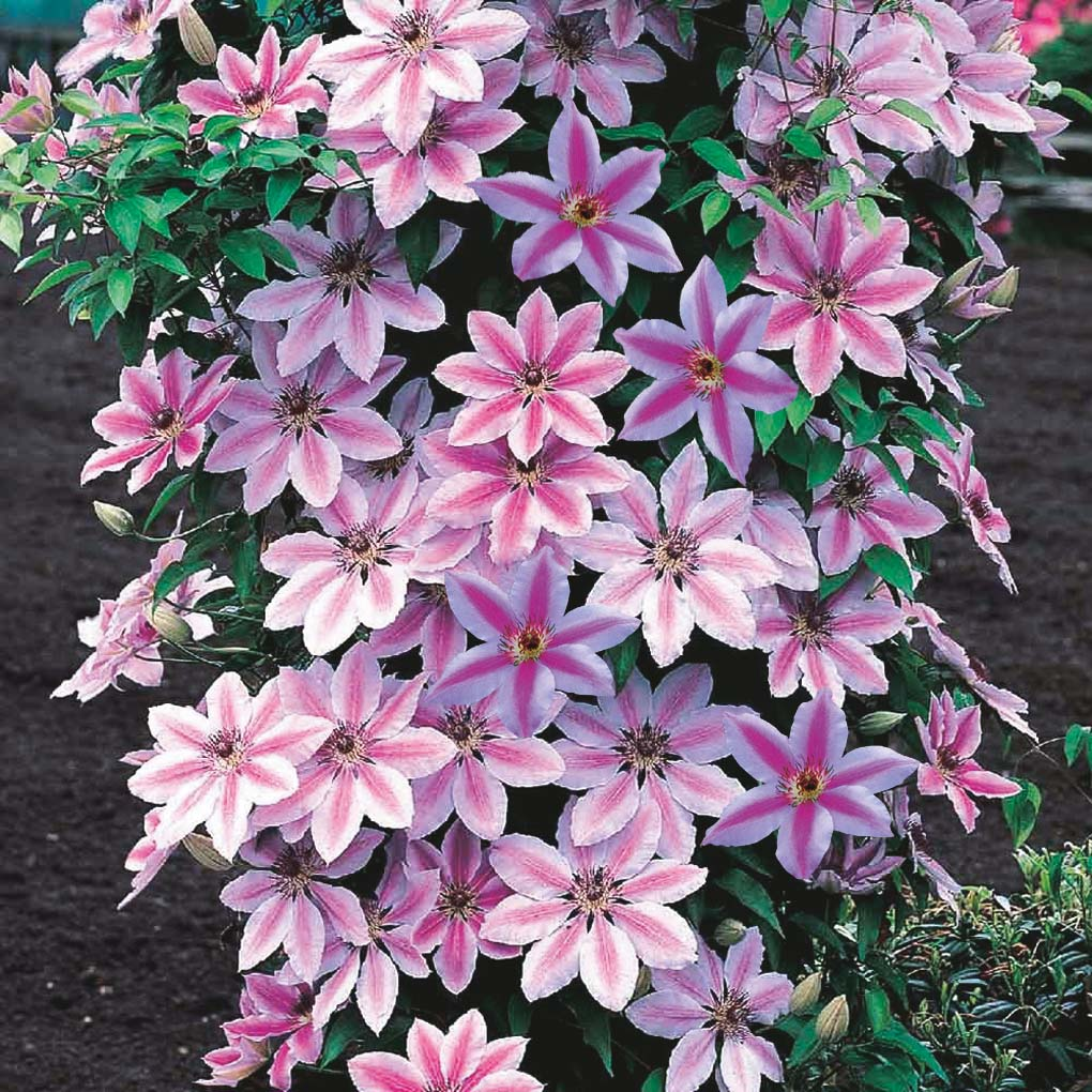 Clematis 'Nelly Moser' with two-tone pink flowers.