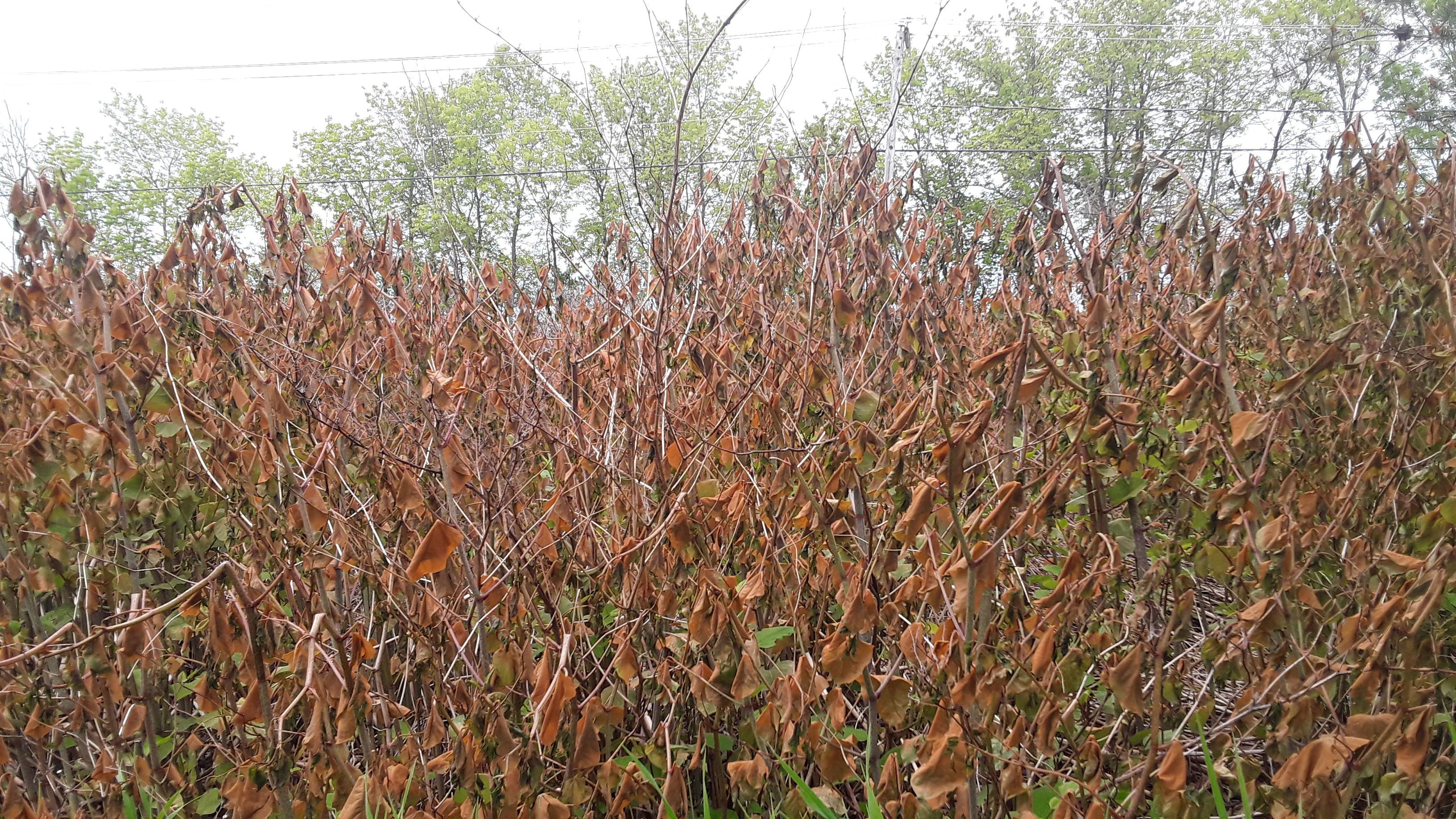 Knotweed that turned completely brown a few days after a frost.
