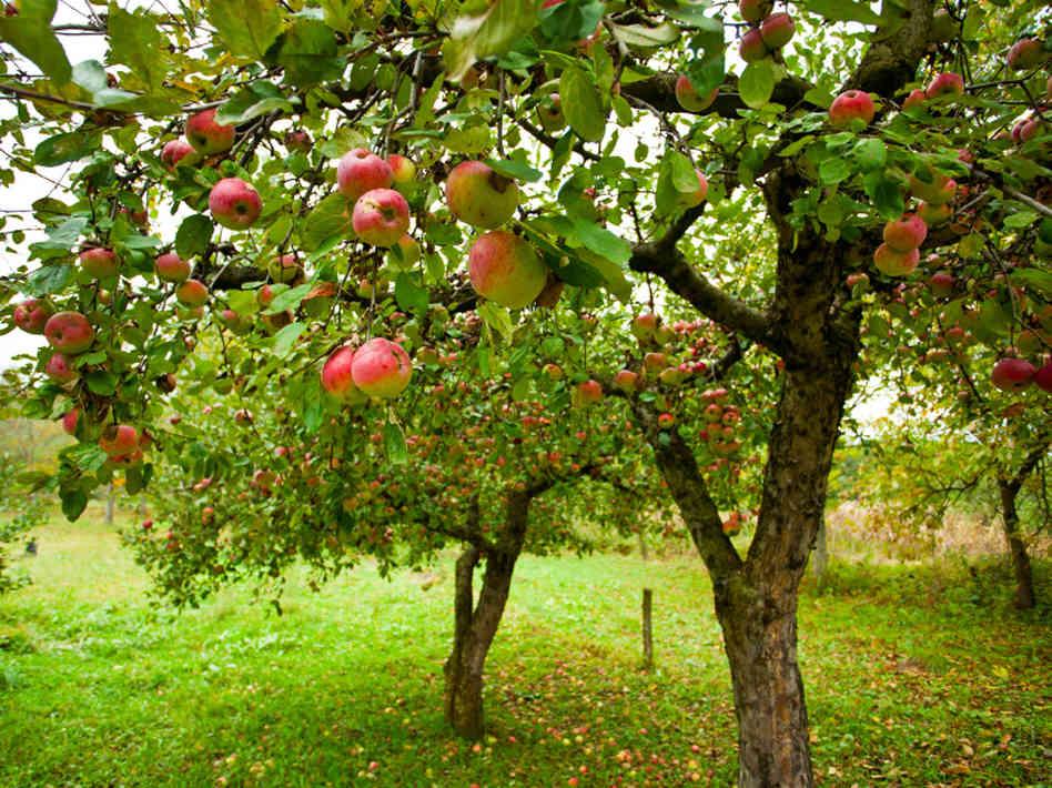 Dwarf apple trees in fruit.