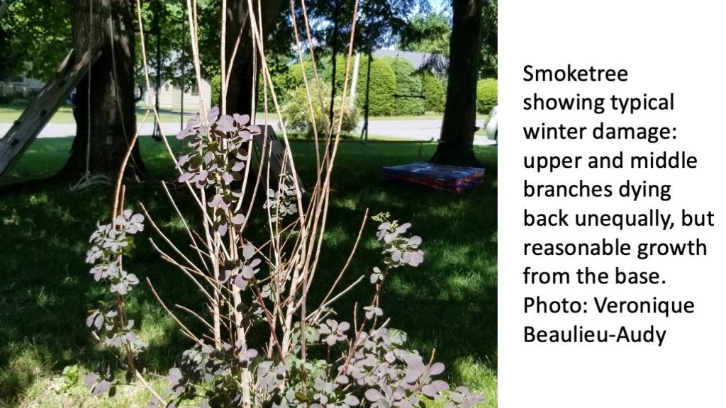 Smoke bush with winter damage.