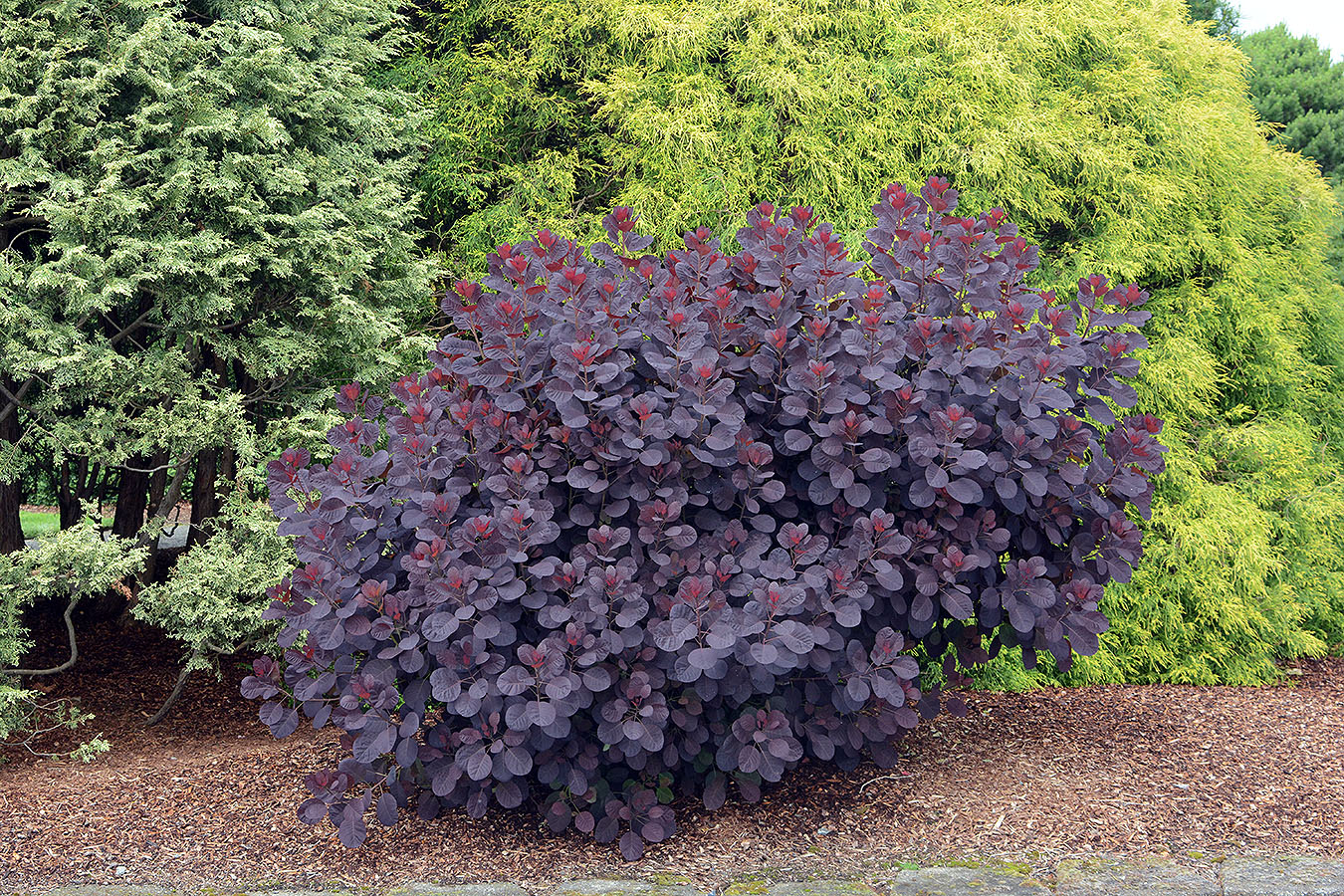 Cotinus coggyria 'Royal Purple' grown as a dieback shrub.