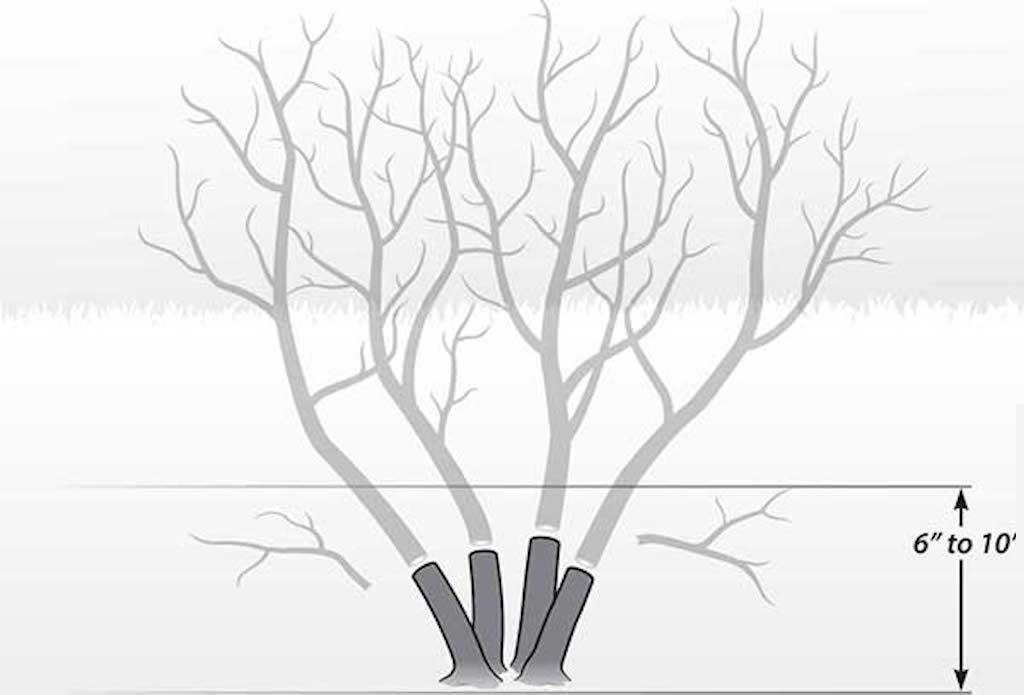Illustration showing dieback pruning of smoketree.