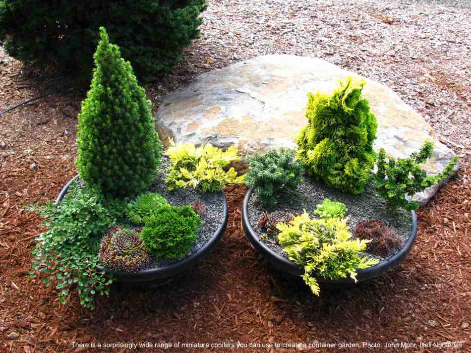 Two miniature conifer container gardens