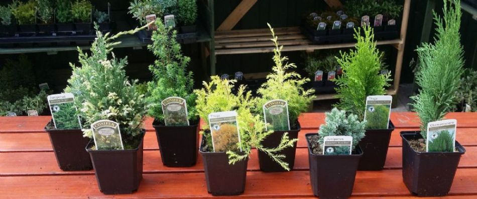 Selection of miniature conifers in individual small pots.