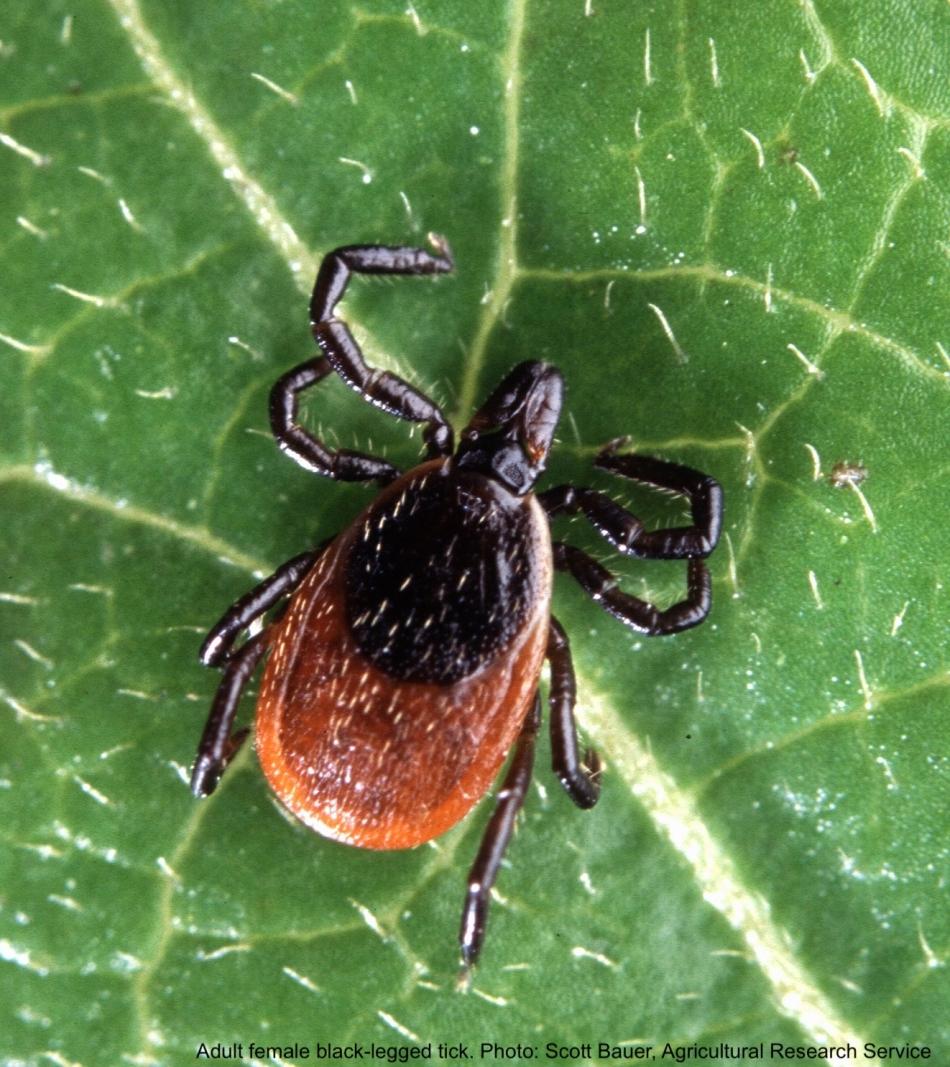 Adult female black-legged tick on a leaf.