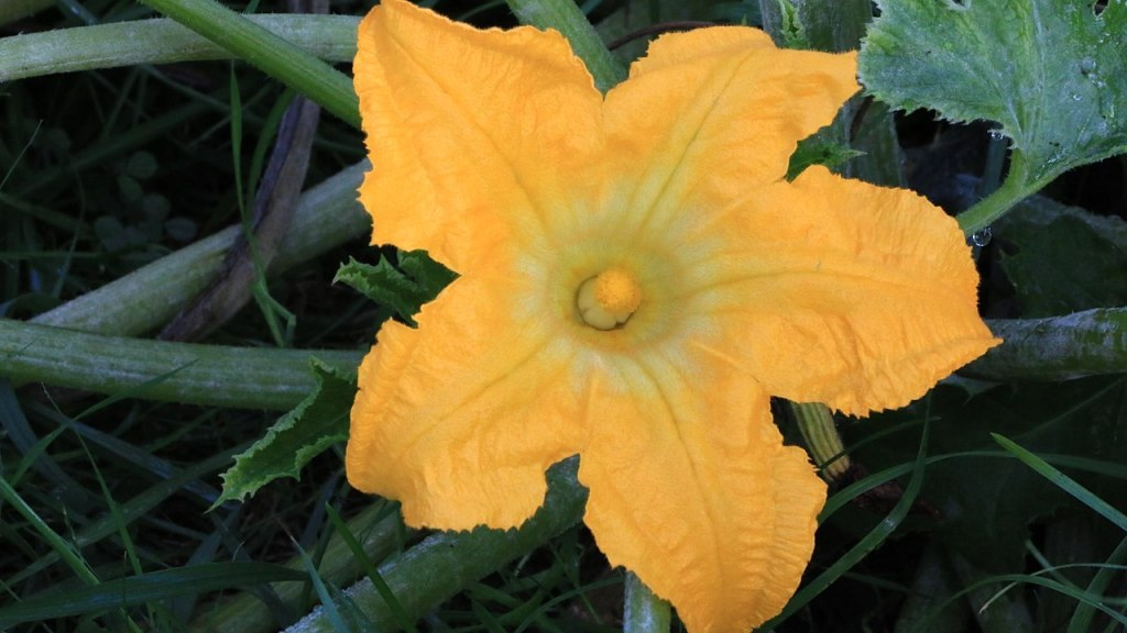 Male squash flower.