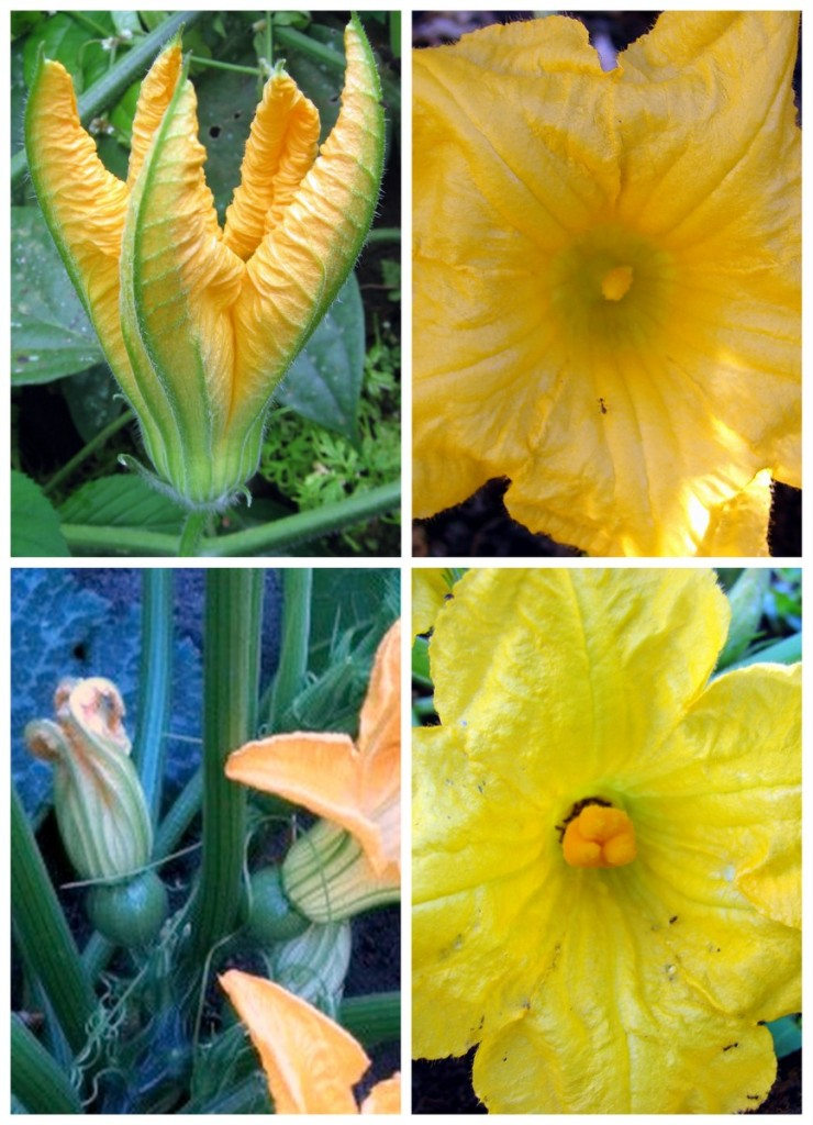 Comparing male and female squash flowers.