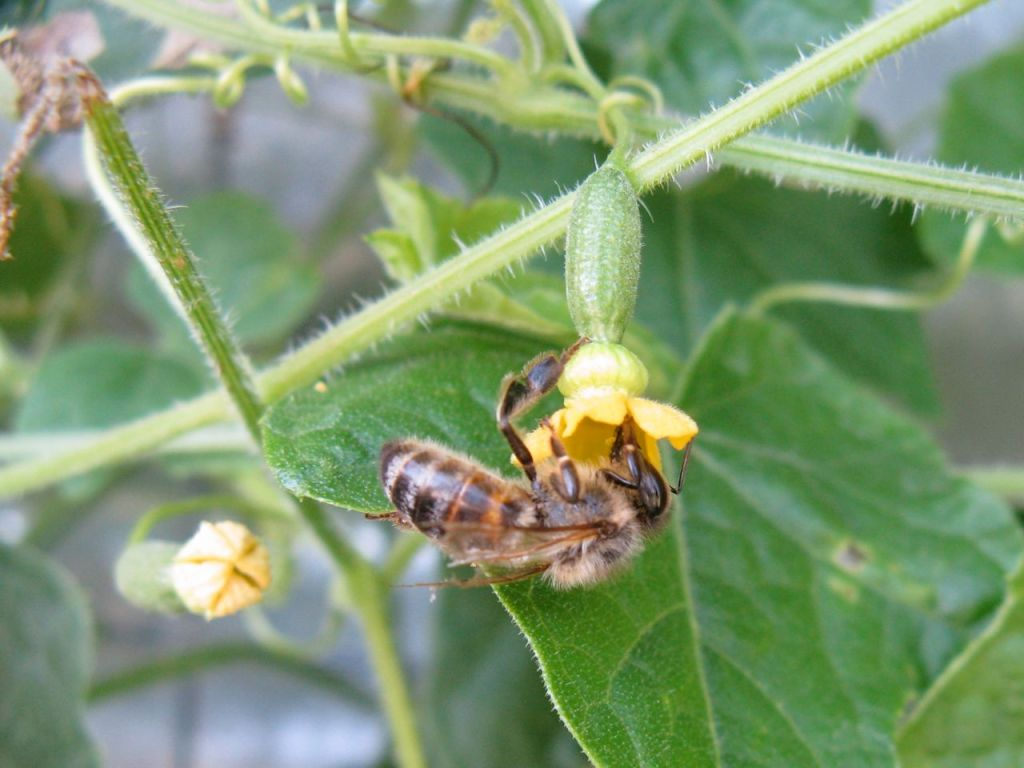 Female cucamelon flower with visiting bee.
