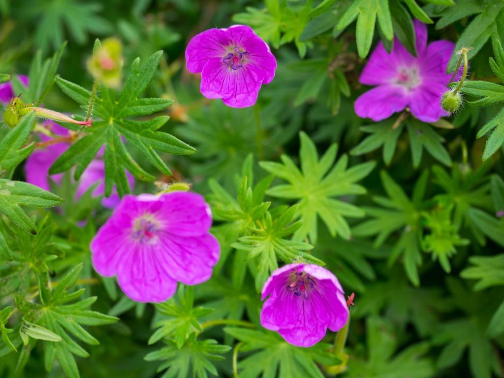 Geranium sanguineum with pink flowers.