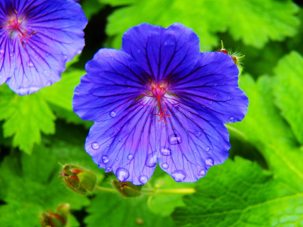 Geranium with symmetric blue flowers.